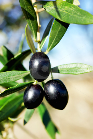 Mature olives . stock photo, Mature olives on tree. by Inacio Pires