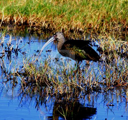 Ibis stock photo, Ibis standing in Marsh by Marburg