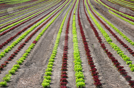 Lettuce field stock photo, Lettuce field by Robert Biedermann