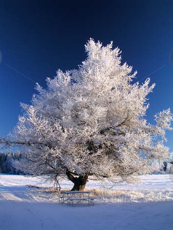 Big frozen tree in sunshine stock photo, Beautiful winter landscape of big frozen tree in sunshine by Ingvar Bjork
