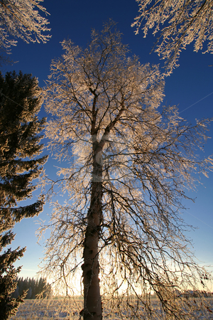Tall frost tree stock photo, Tall frost tree with blue sky in winter by Ingvar Bjork