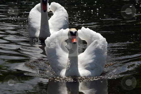 White Swan stock photo, Two white swan swimming on a dark lake by Alain Turgeon