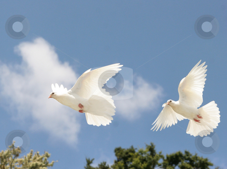 White Doves in flight stock photo, Two beautiful white doves in flight, blue sky background by suemack