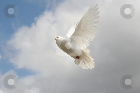 White dove in flight stock photo, Beautiful white dove in flight, blue sky background by suemack