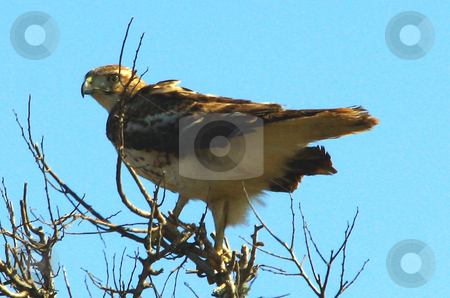 Hawk stock photo, Hawk perched on thin branches with winds up to 20mph shaking the tree and ruffling the bird. by Marburg