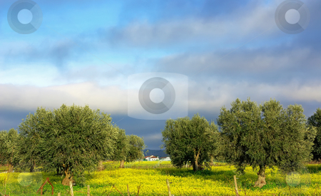 Olives tree in yellow field. stock photo, Olives tree in yellow field. by Inacio Pires