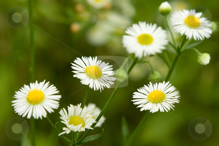 Chamomile flowers stock photo, Close-up of  chamomile flowers on green natural background by caimacanul