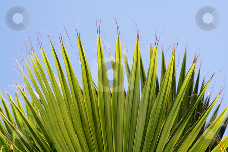 Palm leaves stock photo, Palm leaves with blue sky as a background by Olena Pupirina