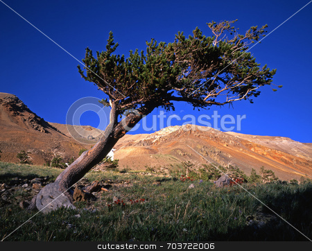 Bristlecone Pine Tree stock photo, A bristlecone pine tree in the Arapaho National Forest in Colorado. by Mike Norton