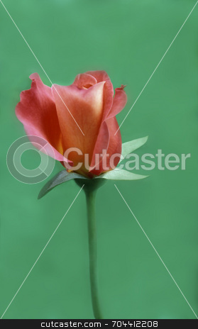 Rose-colored Rose stock photo, Softly focused rose bud beginning to open against a green background. by Kathy Piper