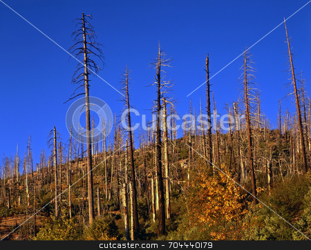 Burned Hillside  stock photo, A hillside of burned trees in Yosemite National Park, California. by Mike Norton