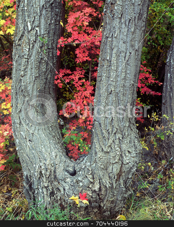 Canyon Maple stock photo, A canyon maple tree and colorful leaves in Logan Canyon, Utah. by Mike Norton