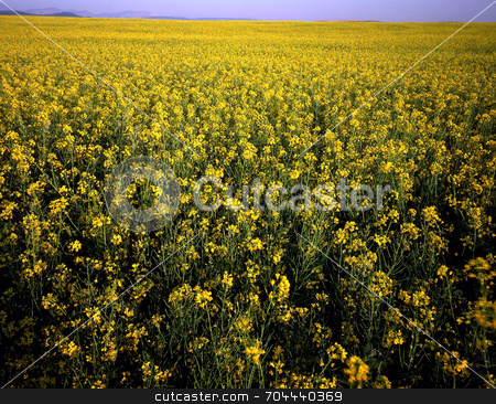 Canola Field stock photo, A field of Canola. by Mike Norton