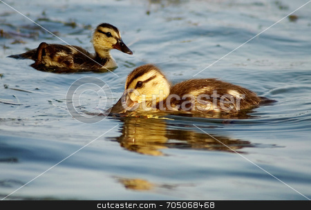 Ducklings stock photo, Two ducklings in lake. by J. Gracey Stinson