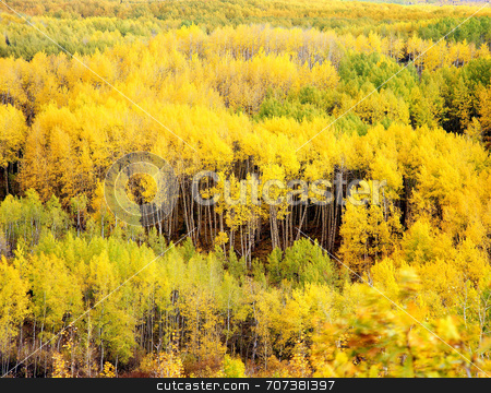 Kebler Pass Aspens stock photo, A forest of aspen trees near Kebler Pass in the Gunnison National Forest of Colorado. by Mike Norton