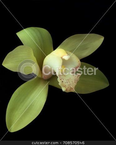 Green Cymbidium Orchid stock photo, Close up of a beautiful Green Cymbidium Orchid on a black background by Kathy Piper
