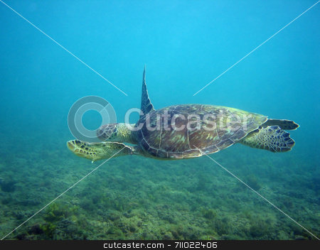 Sea Turtle stock photo, A sea turtle quietly swimming. by Daniel Wiedemann