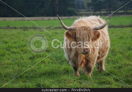 Highland Cattle stock photo, A large highland bull. by Daniel Wiedemann