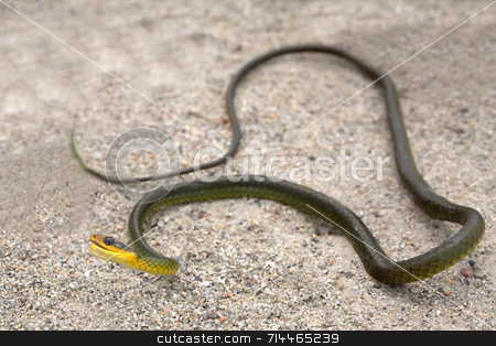 Green Snake stock photo, A green and yellow snake on the sand. by Daniel Wiedemann