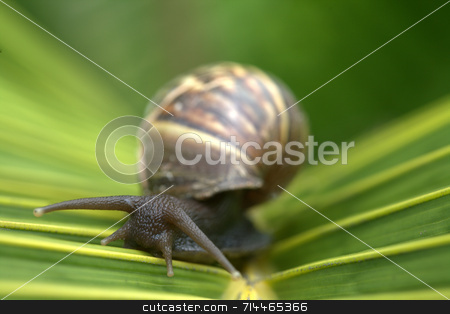 Snail on Leaf stock photo, A snail on a bright green palm tree leaf. by Daniel Wiedemann