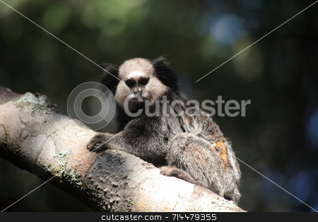 Tamarins stock photo, A 3 image set of the New World Monkeys, Tamarins, photographed in their natural habitat (Brazil). by Daniel Wiedemann