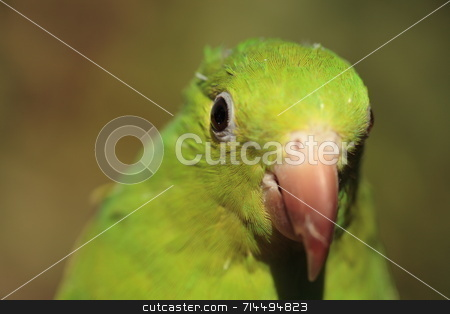Green Parrot stock photo, A green parrot close-up with out of focus background. by Daniel Wiedemann