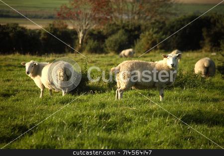 Sheep stock photo, A set of sheep in a green field in Scotland. by Daniel Wiedemann