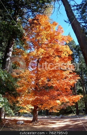 Autumn Tree stock photo, Beautifully autumn colored tree in Yosemite. by Henrik Lehnerer