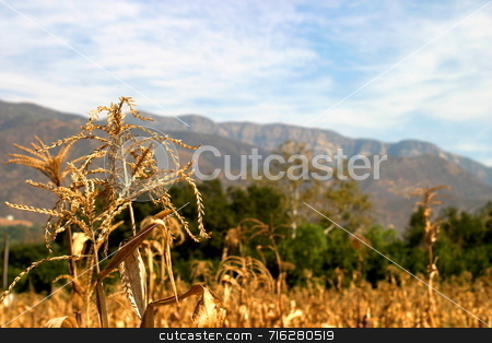 Harvest Time stock photo, A corn field with the Topa Topa Mountains in the background in the Ojai valley. by Henrik Lehnerer
