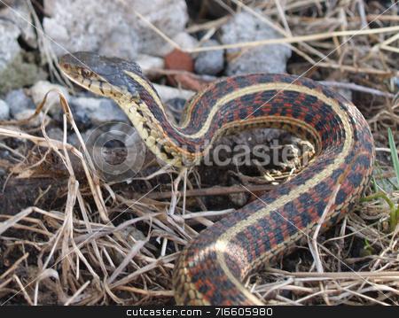 Garter snake stock photo,  by Michelle Bergkamp