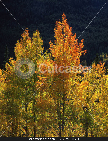 Orange and Yellow Aspens stock photo, Orange & yellow aspen leaves in the Arapaho National Forest of Colorado. by Mike Norton