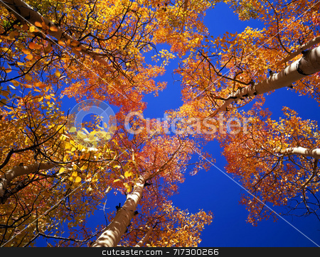Orange Aspen Canopy stock photo, Aspen trees photographed during the autumn season. by Mike Norton