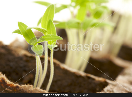Sprouting Plants stock photo, Backlit Sprouting Plants with White Background. by Andy Dean