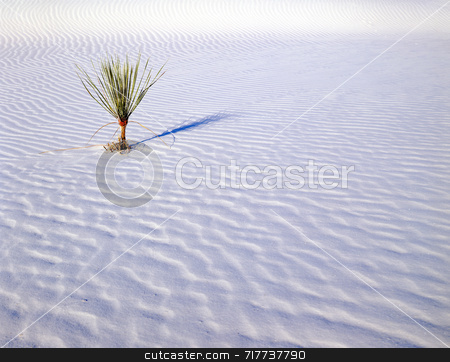 Small Soaptree Yucca stock photo, A small soaptree yucca plant growing in White Sands National Monument, New Mexico. by Mike Norton