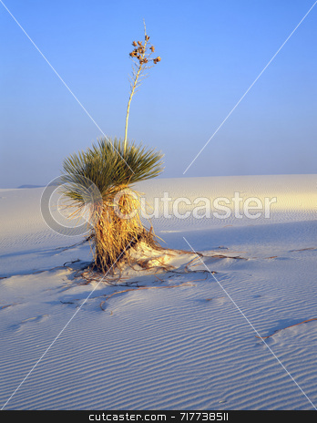 Soaptree Yucca stock photo, A soaptree yucca plant in White Sands National Monument, New Mexico. by Mike Norton