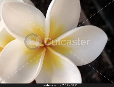 Frangipani stock photo, Close up of a frangipani blossom by Maria Bell