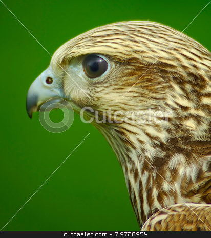 Raptors Head stock photo, Hawks head, looking left on green background by Stefan Edwards