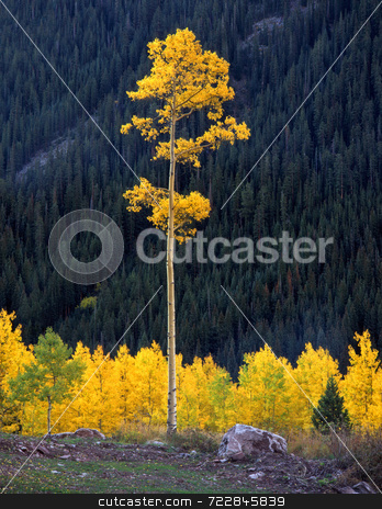 Tall Aspen stock photo, A tall aspen tree in the White River National Forest of Colorado. by Mike Norton