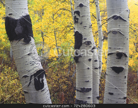 Three Aspens stock photo, Three aspen trees in the Wasatch-Cache National Forest, Utah. by Mike Norton