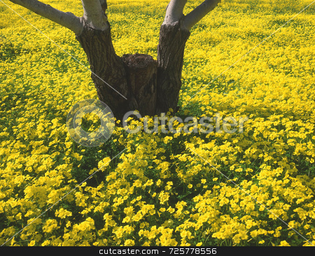 Walnut Orchard stock photo, Yellow flowers growing in a walnut orchard in California. by Mike Norton