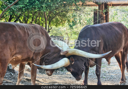 Ankole Cattle stock photo, Two Ankole cattle embraced in a fight of their land by Kevin Tietz