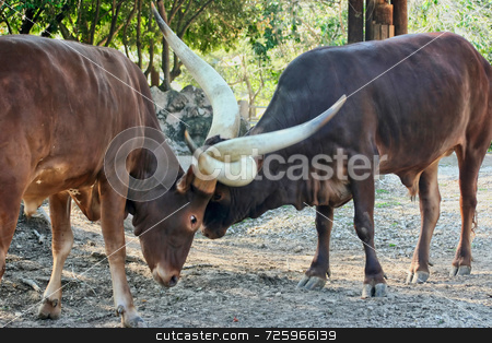 Ankole Cattle Fighting stock photo, Two Ankole cattle embraced in a fight over their land by Kevin Tietz