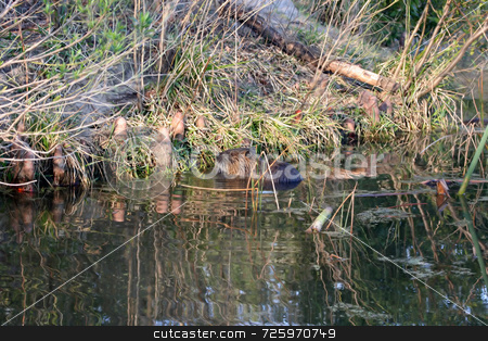 Beaver stock photo, A lone beaver taking a swim through swampy water by Kevin Tietz