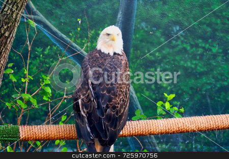 Bald Eagle stock photo, A single bald eagle sitting on a rope branch by Kevin Tietz