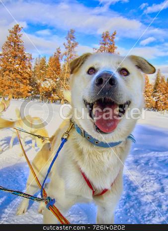 Happy Husky stock photo, A close up shot of a very happy husky mix by Kevin Tietz