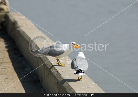 Seagull Not Sharing stock photo, A seagull with food in his mouth not sharing it with another by Richard Nelson