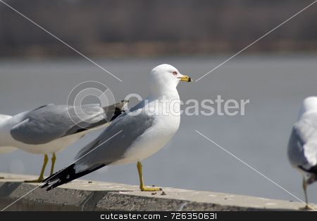 Seagull Standing With Friends stock photo, A seagull standing on a cement ledge looking out over the water by Richard Nelson