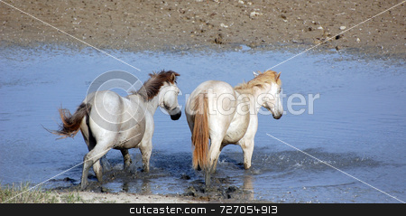 White horses stock photo, Pair of horses walking into the water by Massimiliano Leban
