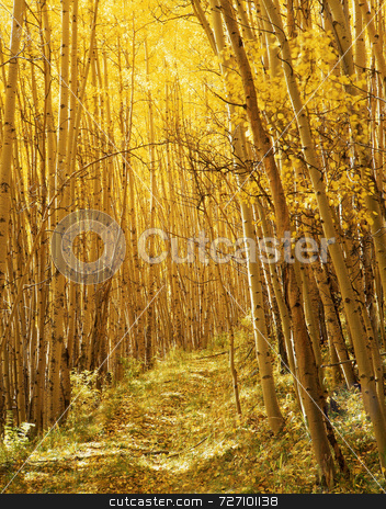 Yellow Forest Trail stock photo, A trail through a stand of aspen trees in the Uncompahgre National Forest, Colorado, photographed during the autumn season. by Mike Norton
