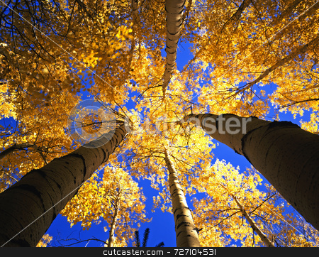 Yellow Forest Canopy stock photo, A canopy made from the branches & leaves of aspen trees, photographed during the autumn season. by Mike Norton
